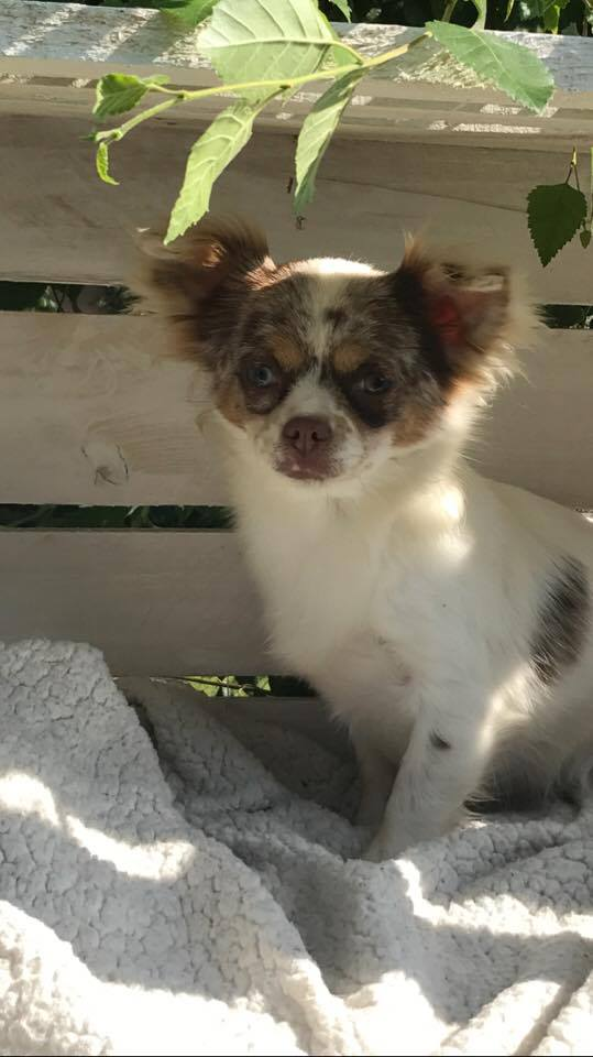 Myrtille Chihuahua